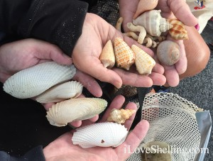 cones angel wing shells on shelling trip