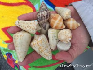 finding cones tulip nutmeg shells