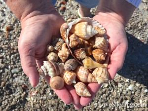 hunting for shells on Sanibel