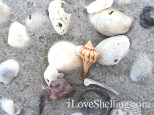 lightning whelk shell on shells