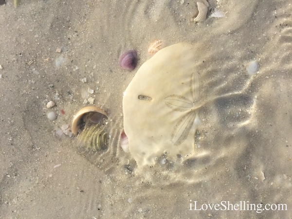 sandy sand dollar CLW beach