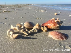 sea shells near Clearwater Beach Florida