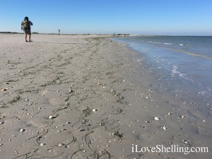 shelling the sand flats of Clearwater Beach
