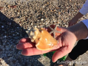 shells and starfish found on Sanibel
