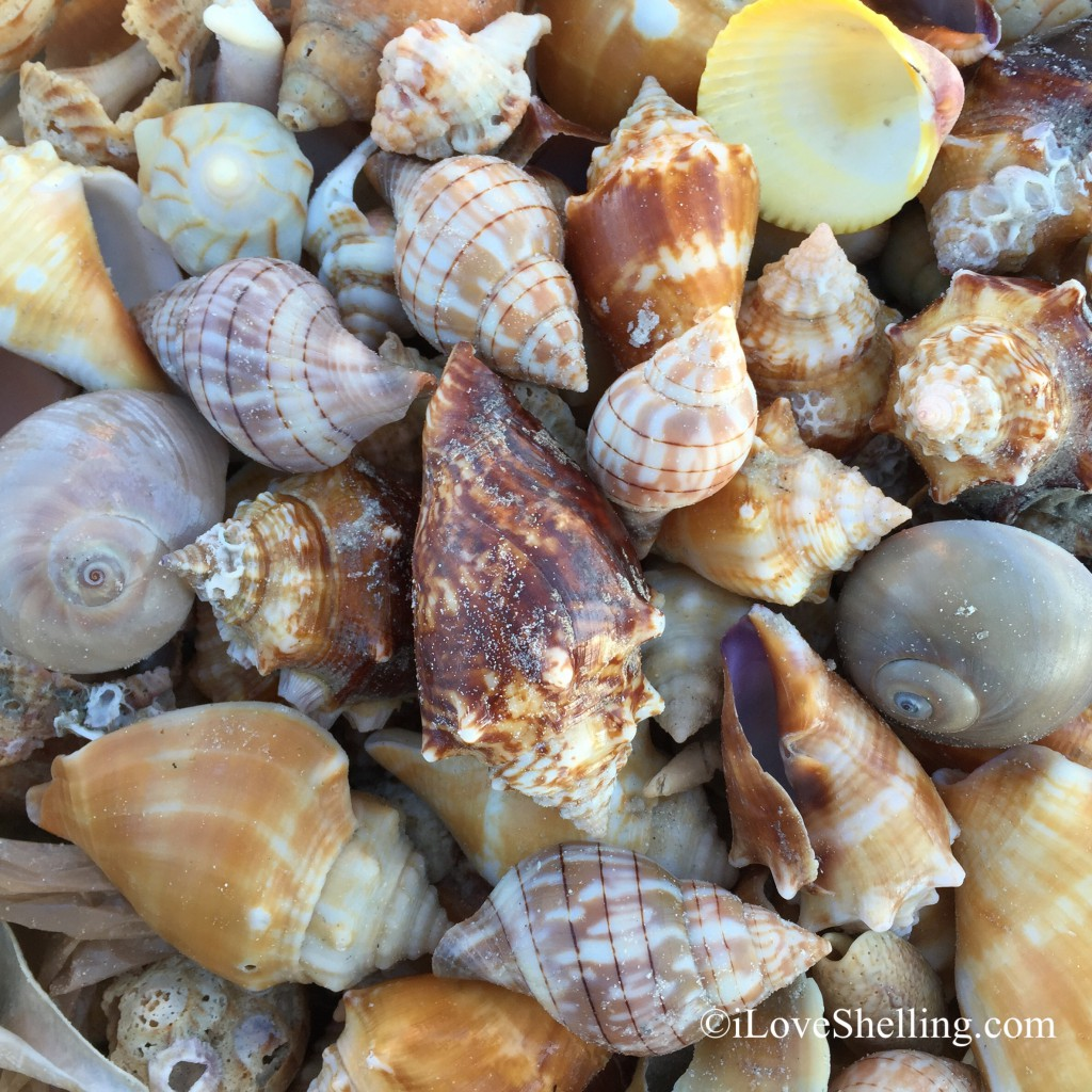 shells found by Sue on Sanibel