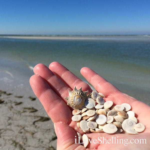 shiva shell operculum Clearwater Beach Florida