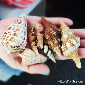 Alphabet cones, wormies and horse conch shells collected