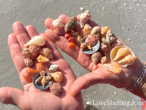Beautiful seashells from the Sanibel seashore