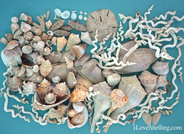 Collection of seashells from Clearwater Beach Florida