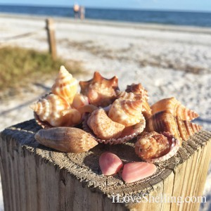 Shell Fairy left seashell treasures on Sanibel beach