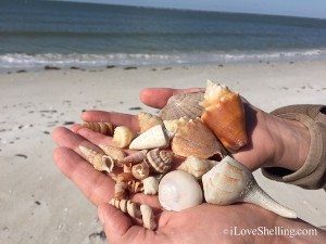 Shell collection from beach combing Florida