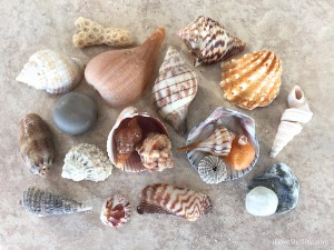 jesse's favorite shells while visiting sw florida