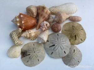 sand dollars and seashells collected