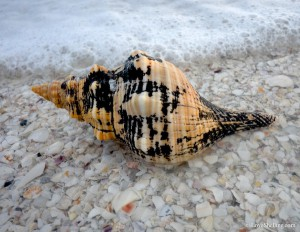 Florida Horse Conch washed up on the beach