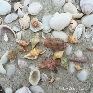 miniature seashells in the sand