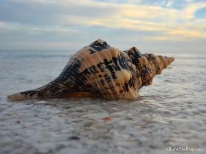 Sanibel seashell on the beach at sunset