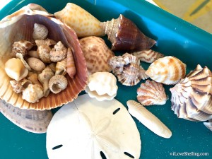 Sanibel shells by Christy