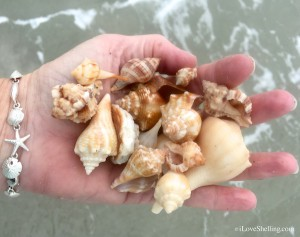Sea shells found in the water of Sanibel island