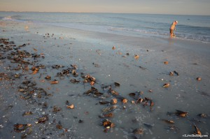 Sea shells wash up on Sanibel Island Florida beach