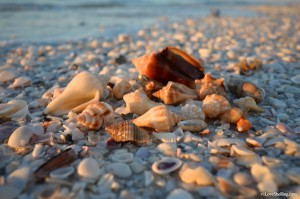 Seashells by the Sanibel seashore
