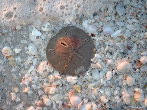 cilia showing on a live sand dollar