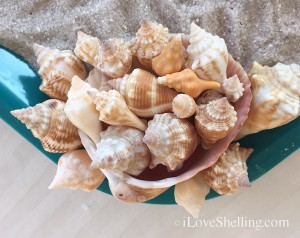 conch and cockle shells from Sanibel