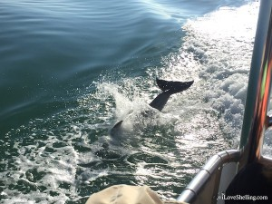 dolphins jumping during shelling cruise
