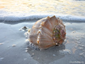 lightning whelk in surf