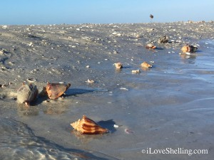 live fighting conch mollusks on sand bar