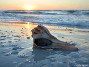 live lightning whelk at sunrise