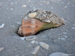 live lightning whelk digging in the sand