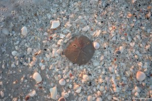 live sand dollar in crushed shell