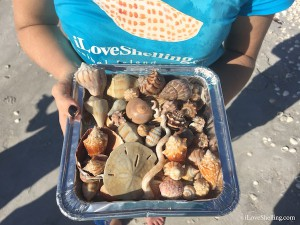 seashells found at Shellabaloo 6 Jan 2015