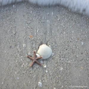 tidal starfish with seashell