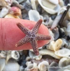 tiny juvie starfish on my finger tip