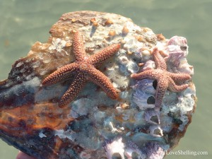 two starfish on a shell