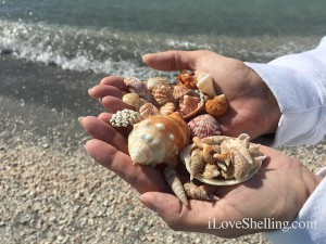 Beach treasures and seashells found on Captiva