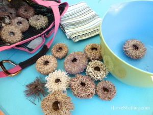 Dried Sanibel Sea Urchins