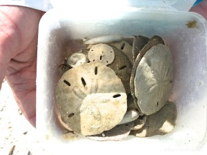 Sandy sand dollars found Bonita Springs Florida