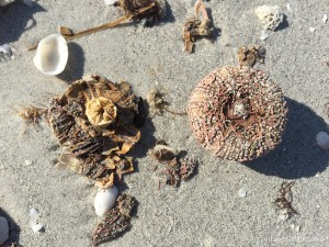 Sanibel sea urchin and Aristotle's lantern