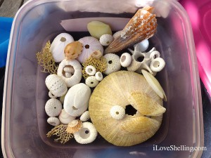 Sea urchin collection in plastic tub for transporting breakables