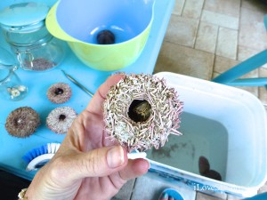 cleaning dried sea urchin with aristotle lantern inside