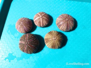 drying sea urchins