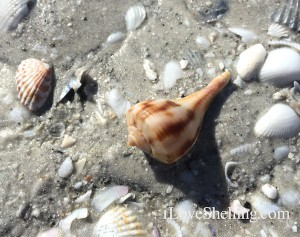 pear whelk shell in the sand