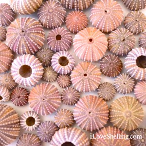 sea urchins from sanibel