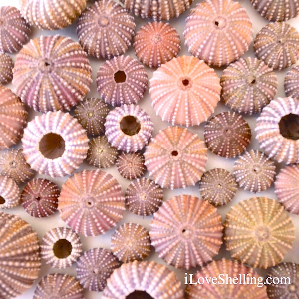 Masses Of Sea Urchins