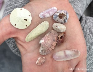 small sand dollar limpet, drill, purplish tagelus sun ray venus angel wing