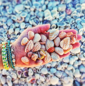 Cardita seashells in a sandy palm on Sanibel Island
