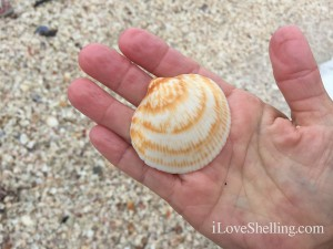 Large giant bittersweet shell