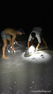 Recording Measurement for Tag and release sanibel shark